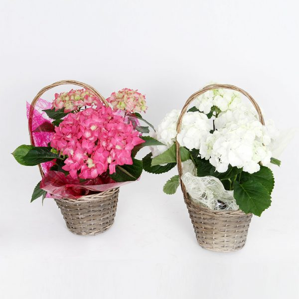 Hortensia blanco / rosa   Trébol Floristas