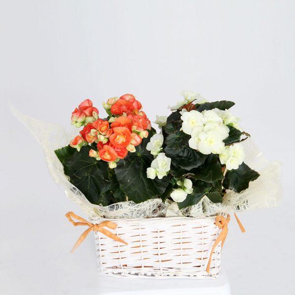 Begonia | Trébol Floristas