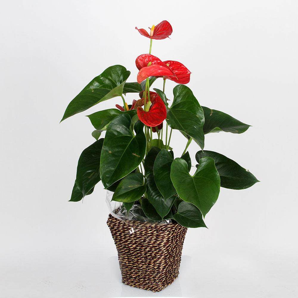 Anthurium rojo | Trébol Floristas