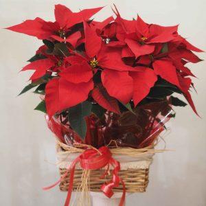 Conjunto de plantas de flor de pascua